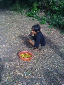 This is Kea's aunt gathering the fruit shaken up by the boy in previous picture. It tasted sweet-and-sour :)